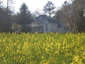 菜の花1(4月23日撮影)
