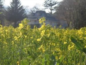 菜の花2(4月23日撮影)