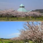 枇杷倶楽部(桜)