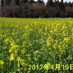 nanohana_20170420_01