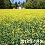 nanohana_20180426_01