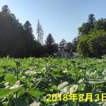 H300803_himawari02